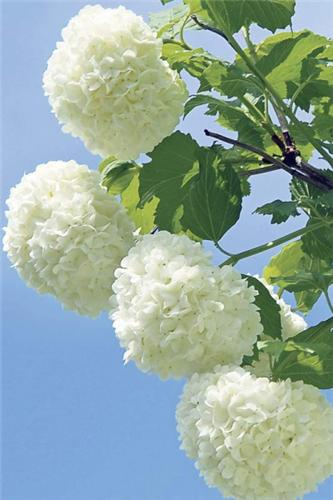 Friendly duluth kiwanis international sterile or roseum is an heirloom shrub gardened since the 16th century and until only recently grown into a tree form it grows very well in sun or partial mightylinksfo